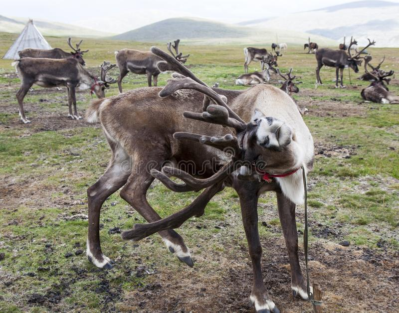 Reindeer scratching antlers with hoof. A reindeer scratches its antlers with its hind foot at its home with the Tsaatan or Dukha reindeer herding peoples of stock image