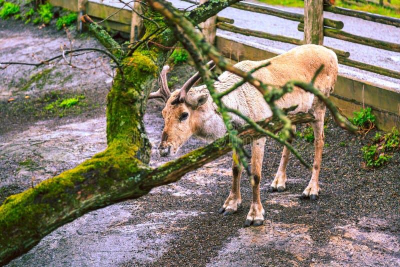 Reindeer in Skansen Zoo, Stockholm. stock images