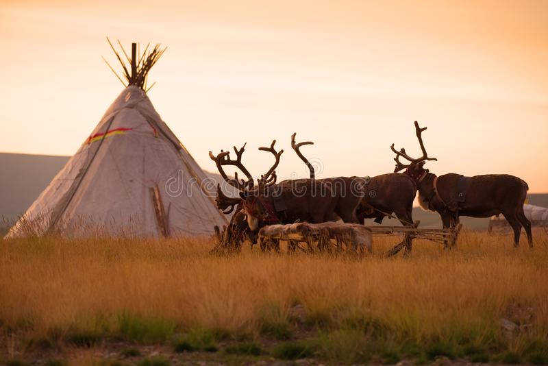 Reindeer sledding at the reindeer herders camp on the background of the sunrise. Yamal, Russia royalty free stock photos