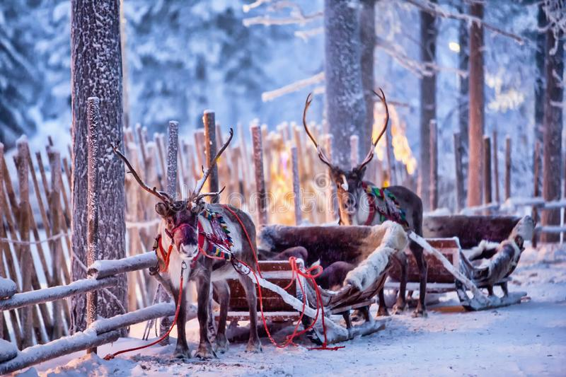 Reindeer with sledge in winter forest in Rovaniemi, Lapland, Finland. Reindeer in harness in a beautiful fabulous winter forest stock image