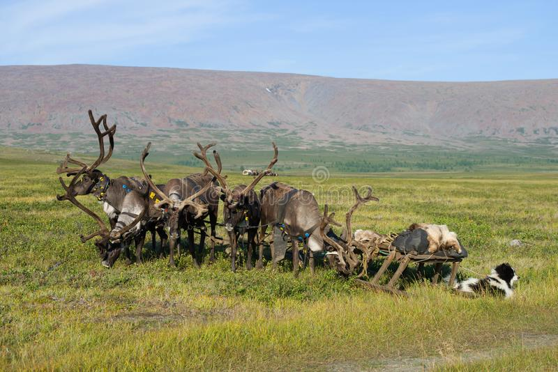 Reindeer with sleds in the Yamal tundra. Russia. Reindeer with sleds in the Yamal tundra, Russia royalty free stock photography