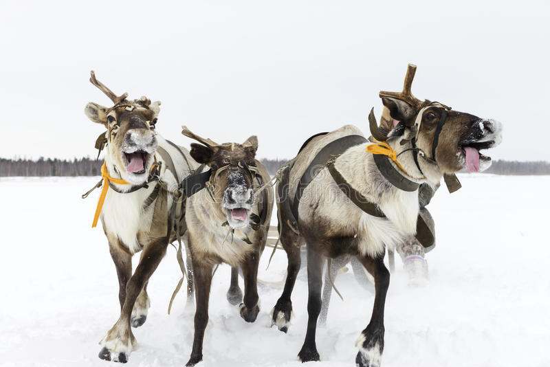 Reindeer sleigh. Composition of reindeer sleigh on Yamal stock photo