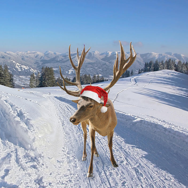 Reindeer on snowy trail in the mountains. Reindeer with santa claus hat, on snowy trail in the mountains, christmas tale stock photography