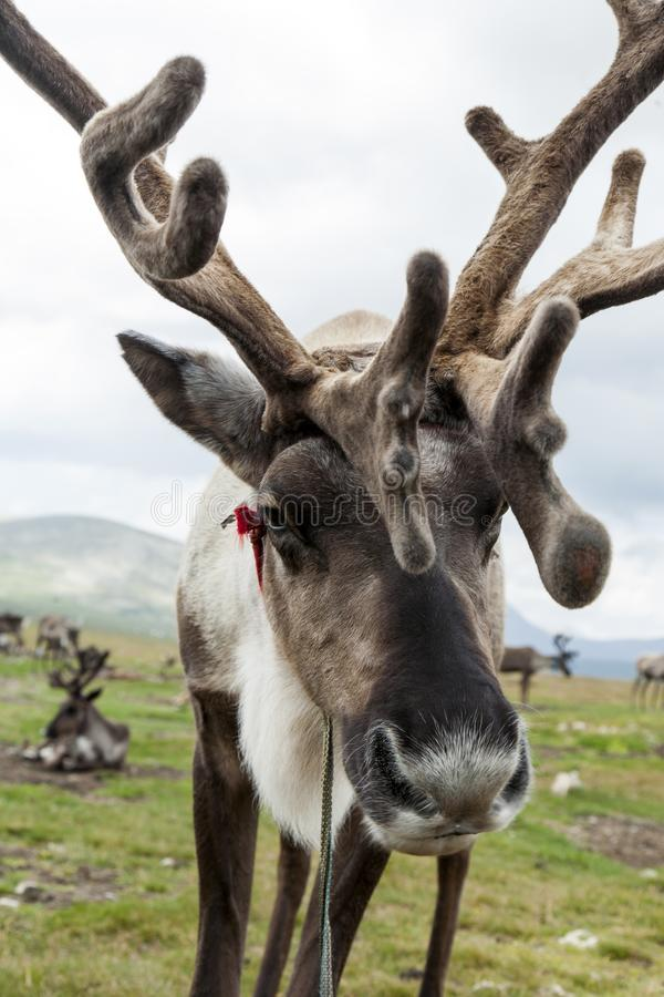 Mongolian reindeer in vast plains of northern Mongolia. A reindeer with soft and fuzzy antlers stands near its home of the Tsaatan or Dukha people in the high royalty free stock images