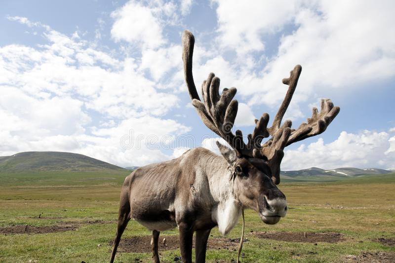 Mongolian reindeer in vast plains of northern Mongolia stock photography