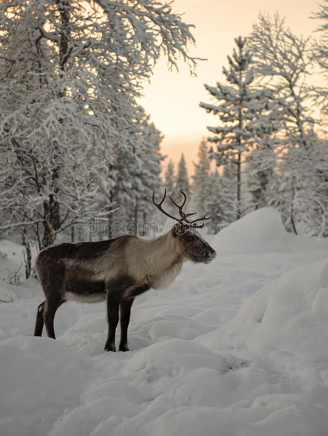 Reindeer standing in the Lapland forests below red winter sky. Finland, Inari - January 2019: Reindeer standing in the Lapland forests below red winter sky stock photos