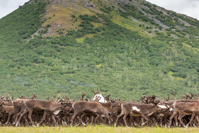 Reindeer in the tundra on the background of mountains. Yamal royalty free stock image