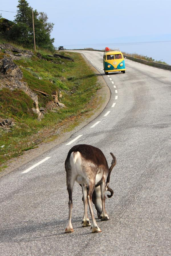 Reindeer or van, who is the master of the road. Reindeer going slowly to Nordkapp, closing the road old van coming fron the other side North Cape, Norway, region royalty free stock images