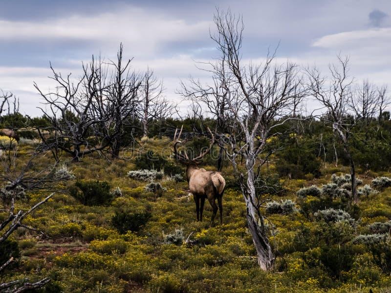 Reindeer walks through the forest tundra. North animal deer stock photo