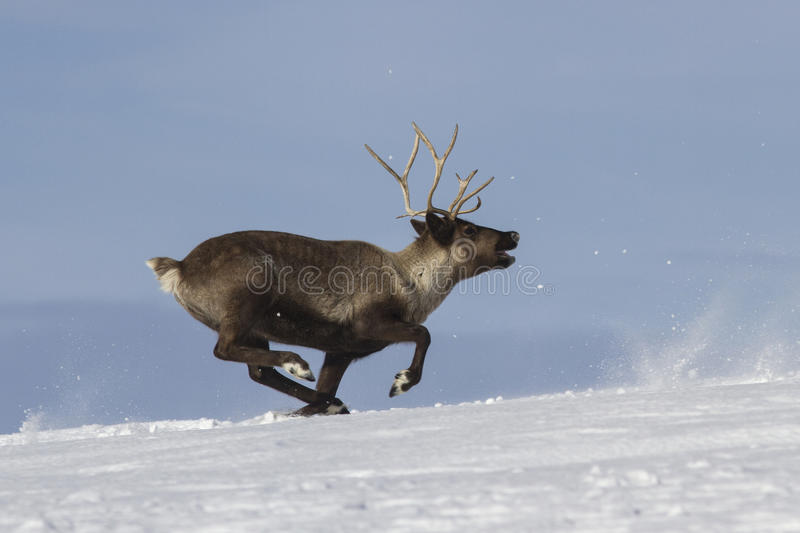 Reindeer which runs on snow-covered tundra. Bering Island stock photo