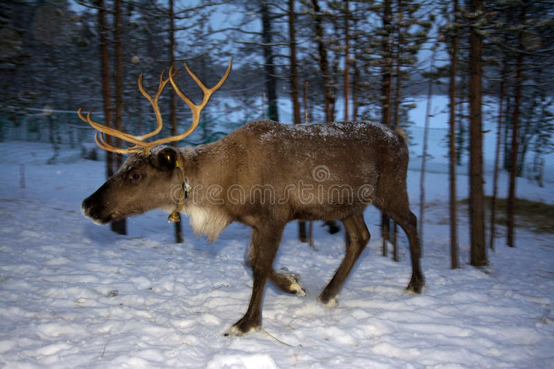 Reindeer are in the woods during the polar night.  royalty free stock image