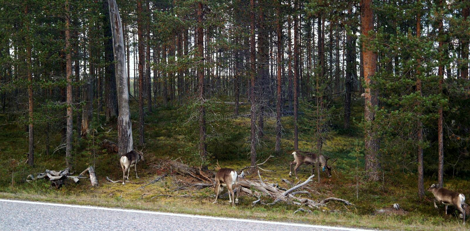 Reindeers. A few reindeers in a forest stock photo