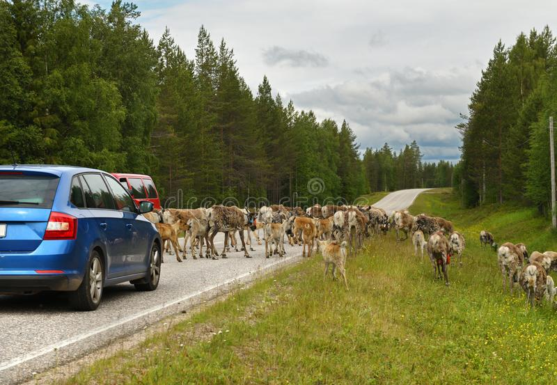 Reindeers hamper traffic on the northern road in Lapland.  royalty free stock photography