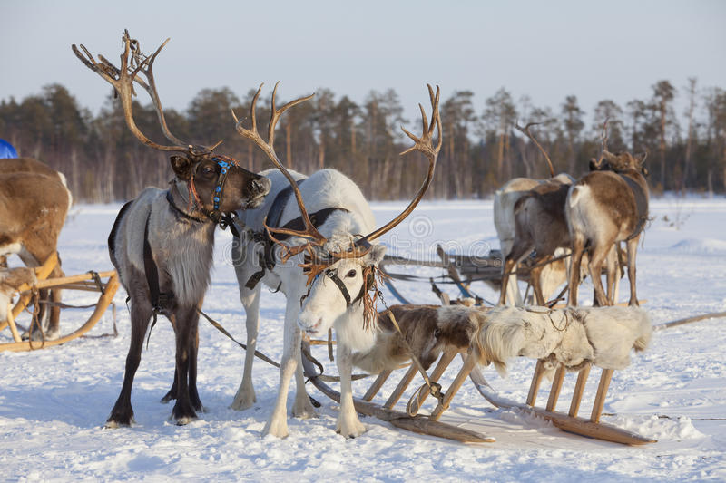 Download Reindeers in harness stock image. Image of lapland, frozen - 23550319