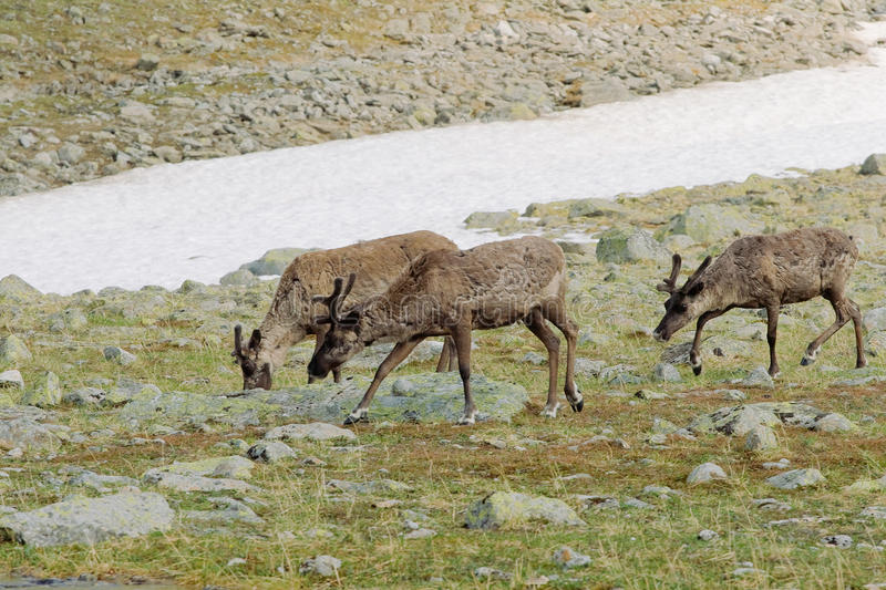 Reindeers in tundra. Three reindeers grazing in tundra eating lichen royalty free stock image