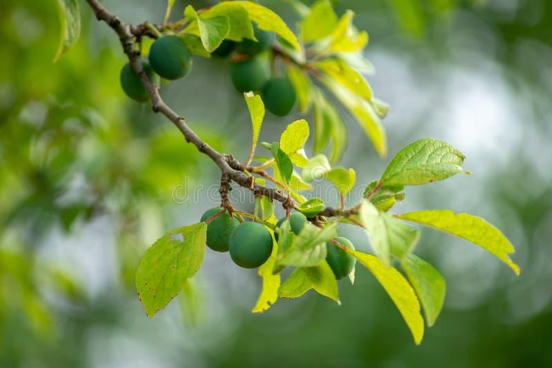 Reine-claudetak met rijpe groene jonge bessen stock afbeeldingen