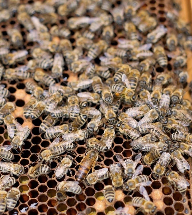 reine d'abeille images stock