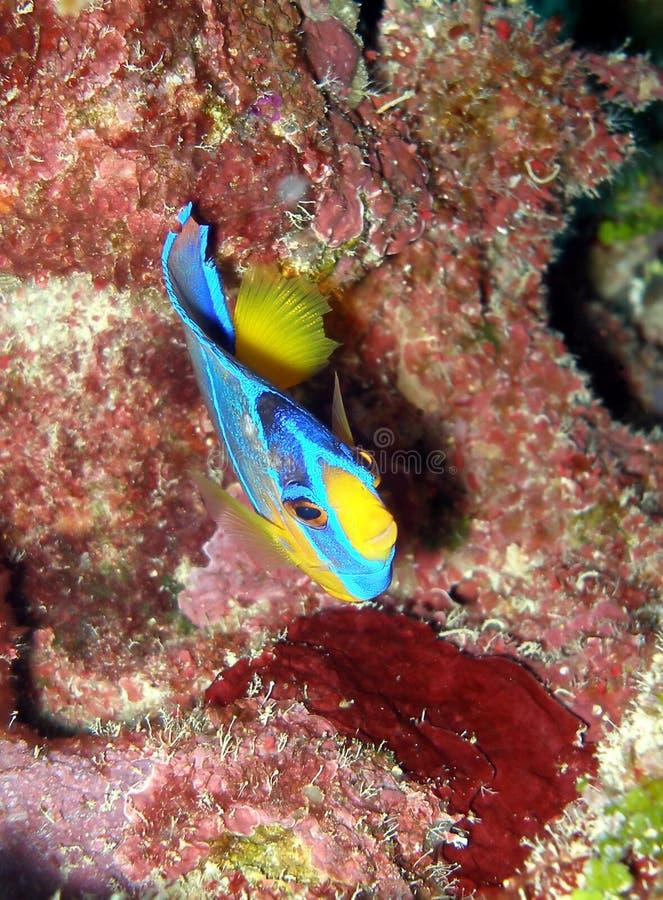 reine de poissons de chéri d'ange photographie stock