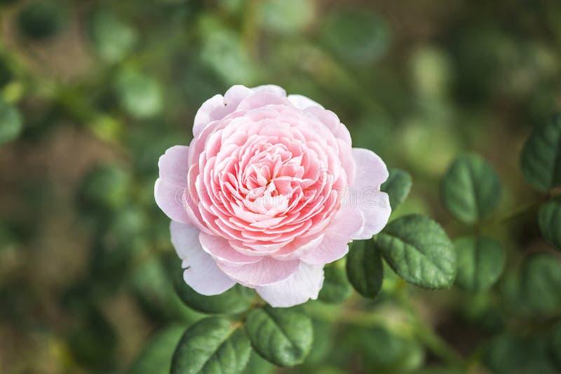 Reine de Rose de la Suède photos libres de droits
