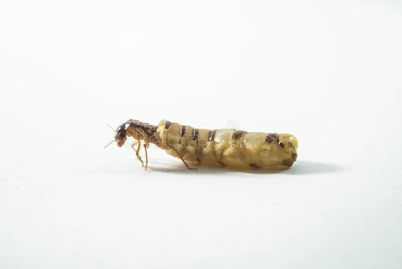 Reine de termite photos libres de droits