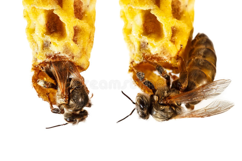 Reine des abeilles photographie stock