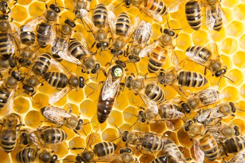 Reine des abeilles dans la ruche d'abeille pondant des oeufs photographie stock