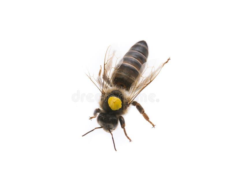 Reine mère d'abeille image libre de droits