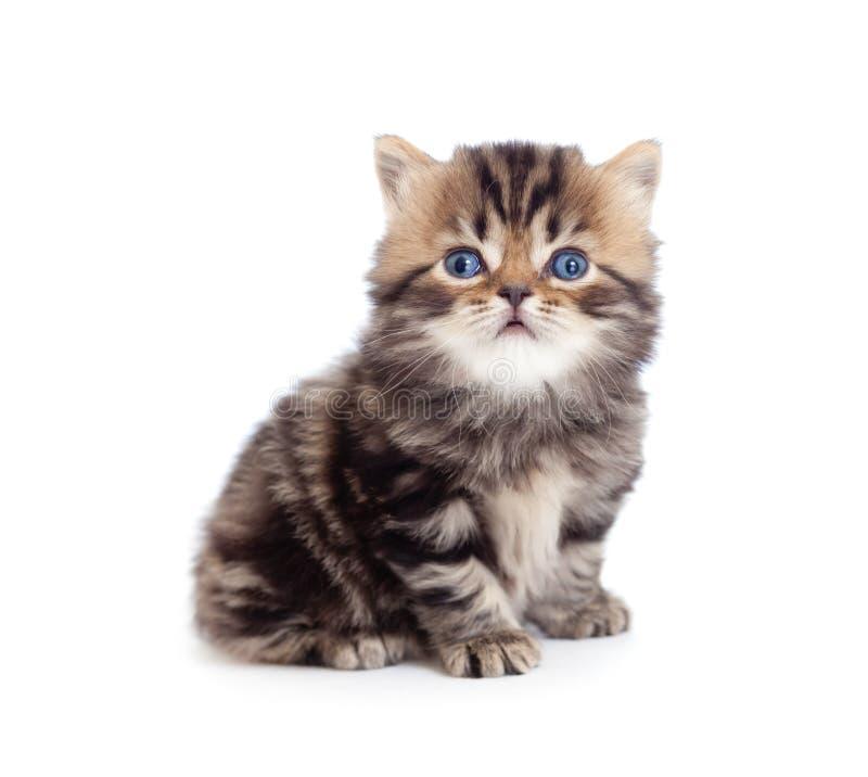 Reiner Tabby Briten Brut des kleinen Kätzchens getrennt stockbilder