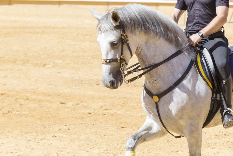Reines Pferderennen sanftmütig und ergeben stockfotos