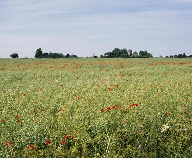 Reino Unido, Gloucestershire, campo da papoila de Cotswolds perto de Coates imagens de stock