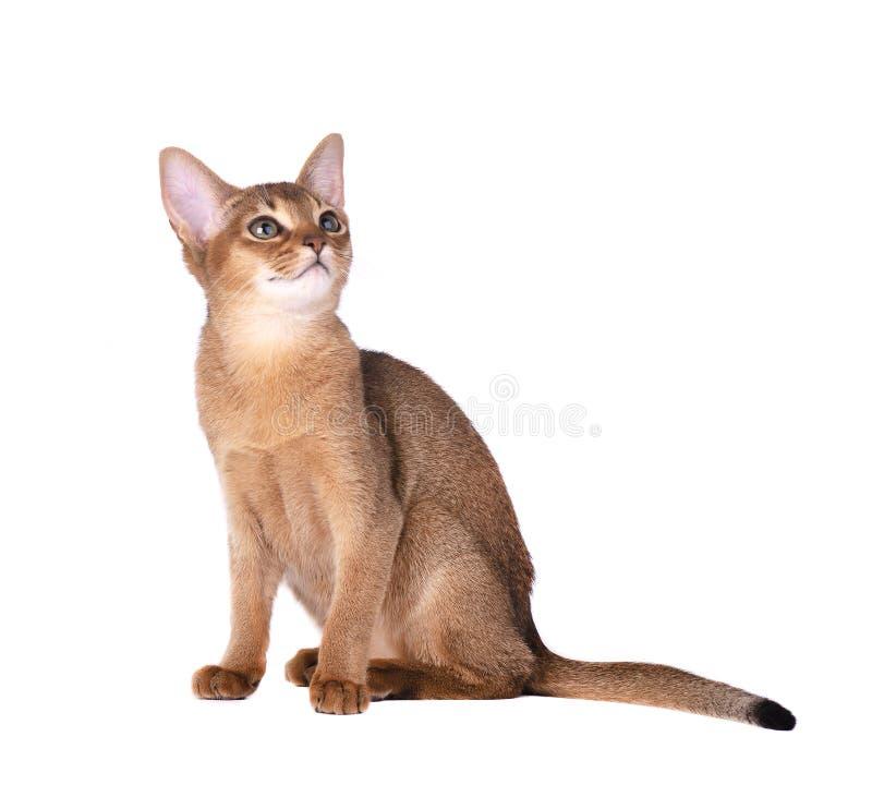 Reinrassige abyssinische Katze lokalisiert auf weißem Hintergrund Nettes spielerisches Kätzchen lokalisiert stockbilder