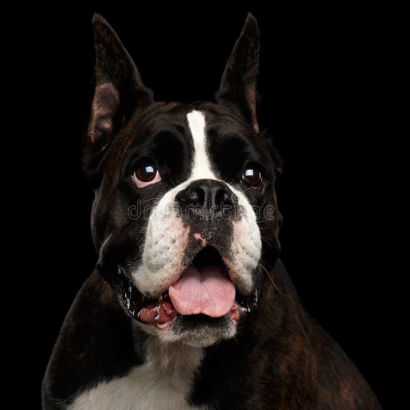 Reinrassiger Boxer-Hund lokalisiert auf schwarzem Hintergrund stockbild