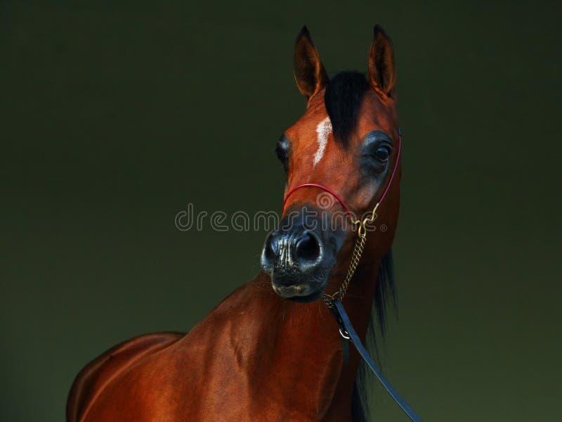 Reinrassiges arabisches Pferd, Porträt eines Buchthengstes lizenzfreies stockbild