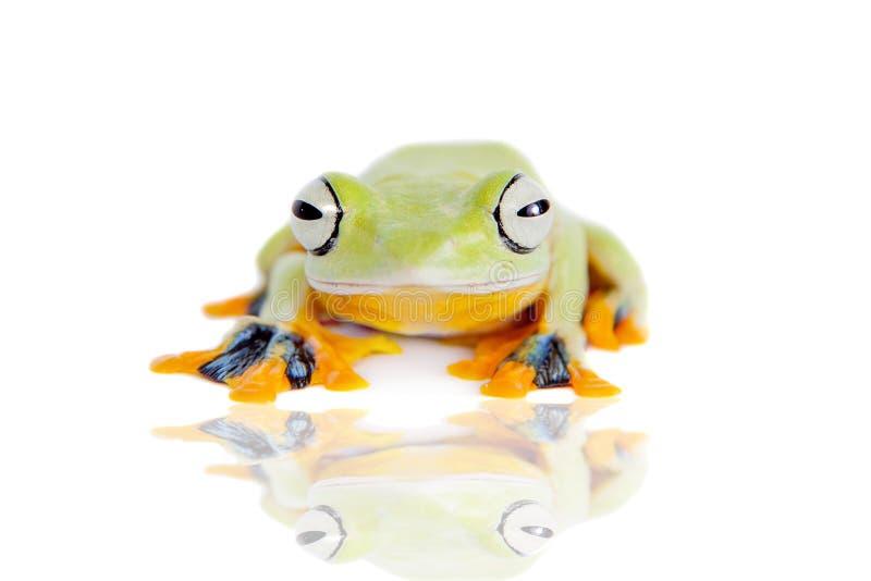Reinwardt的飞行在白色隔绝的雨蛙 免版税库存图片