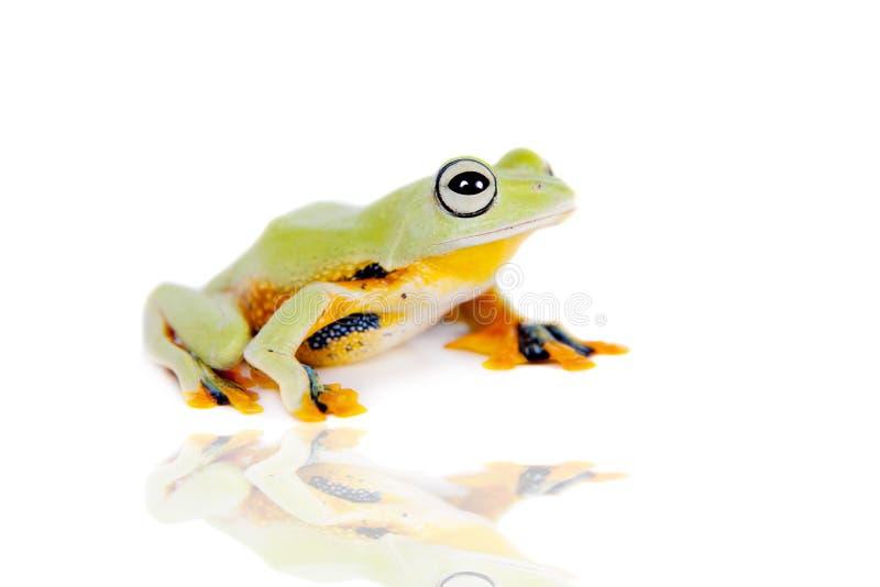 Reinwardt的飞行在白色隔绝的雨蛙 库存图片