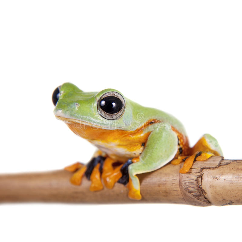 Reinwardt的飞行在白色隔绝的雨蛙 免版税图库摄影