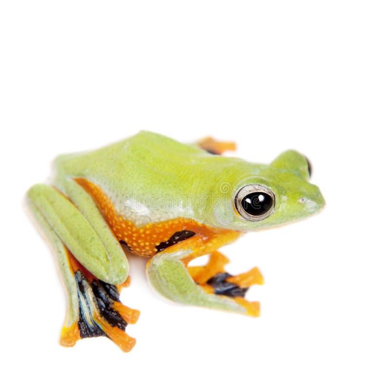 Reinwardt的飞行在白色隔绝的雨蛙 免版税库存照片