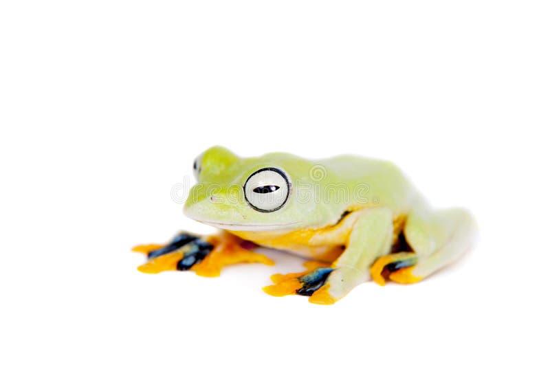 Reinwardt's flying tree frog isolated on white. Reinwardt's flying tree frog, Rhacophorus reinwardtii, isolated on white royalty free stock image