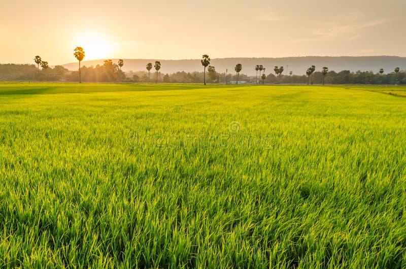 Reis archiviert und Arengapalmebaum lizenzfreie stockbilder