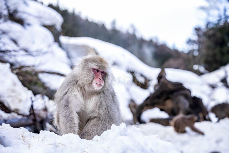 reis Azi? Rood-Cheeked aap Tijdens de winter, kunt u zien de apen die in de hete lente in Hakodate doorweken de populaire hete le stock foto's
