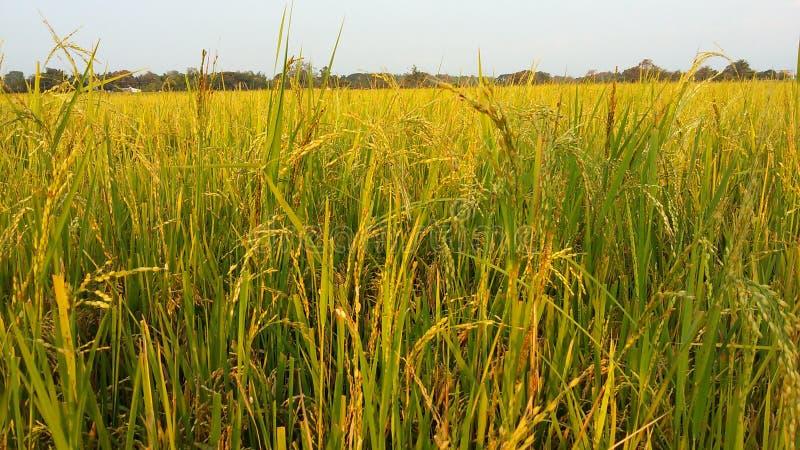 Reis bereit zu ernten stockfoto