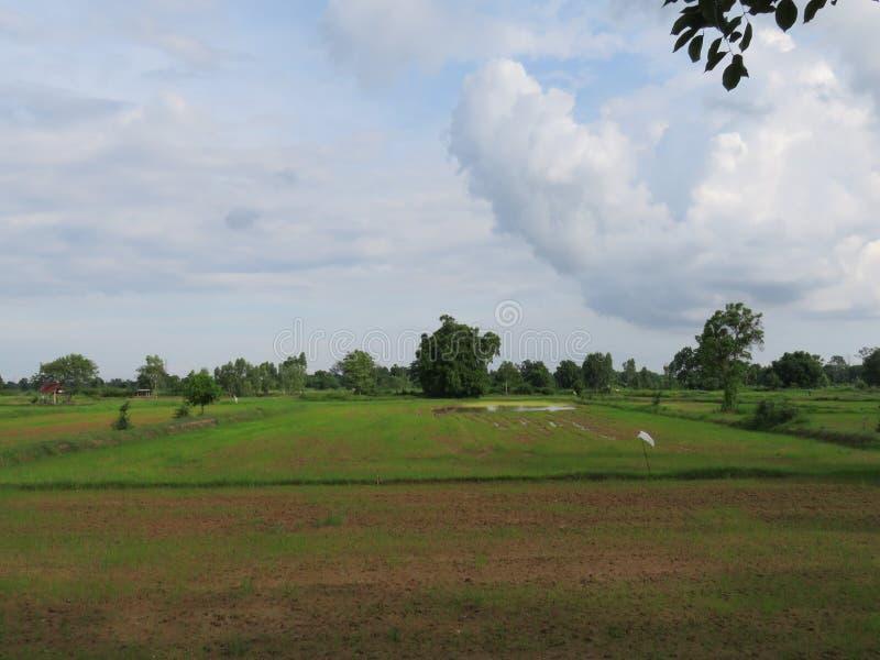 Reis, der in der Regenzeit Thailand bewirtschaftet lizenzfreies stockfoto