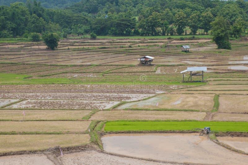 Reis, der heraus Jahreszeit in Thailand bewirtschaftet lizenzfreie stockbilder