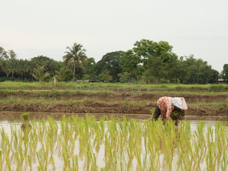 Reis, der Jahreszeit in Thailand bewirtschaftet stockfotos