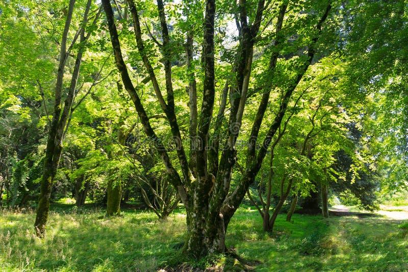 Reis door het zon heldere bos van behandelde bomen stock foto's