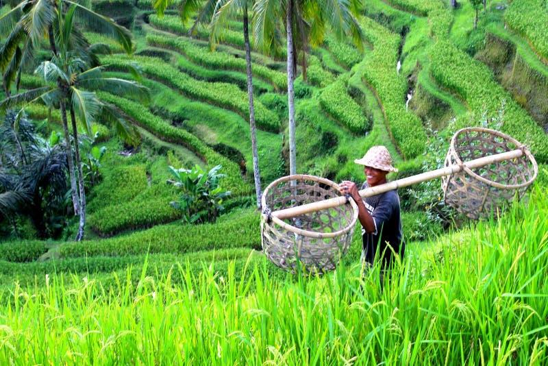 Reis fängt Indonesien auf stockfotografie