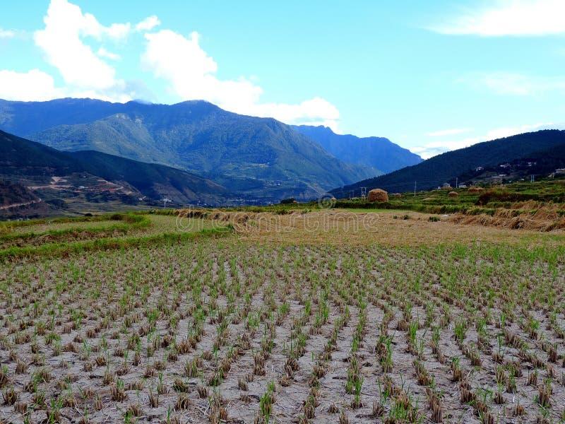 Reis fängt unterwegs Chimi Lhakhang, Bhutan auf lizenzfreie stockfotografie