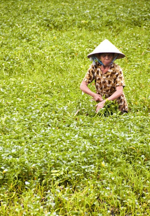 Reis-Feld stockbild