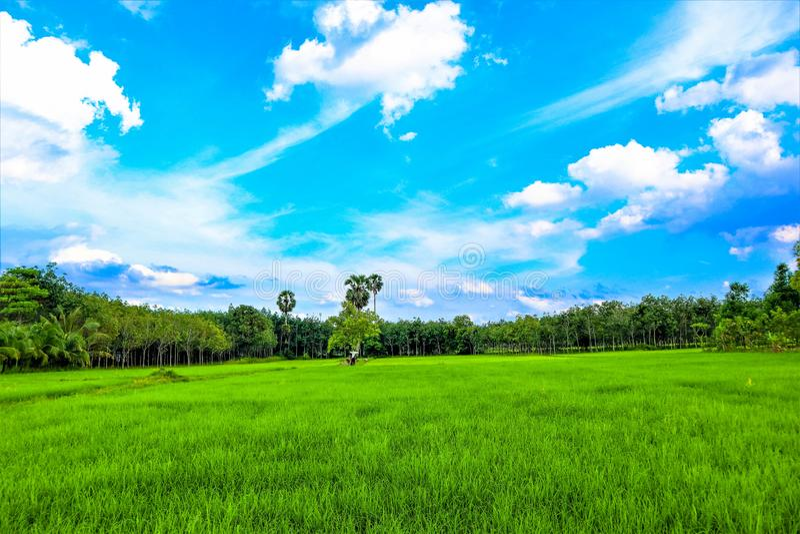 Reis-Feld und Himmel stockfoto