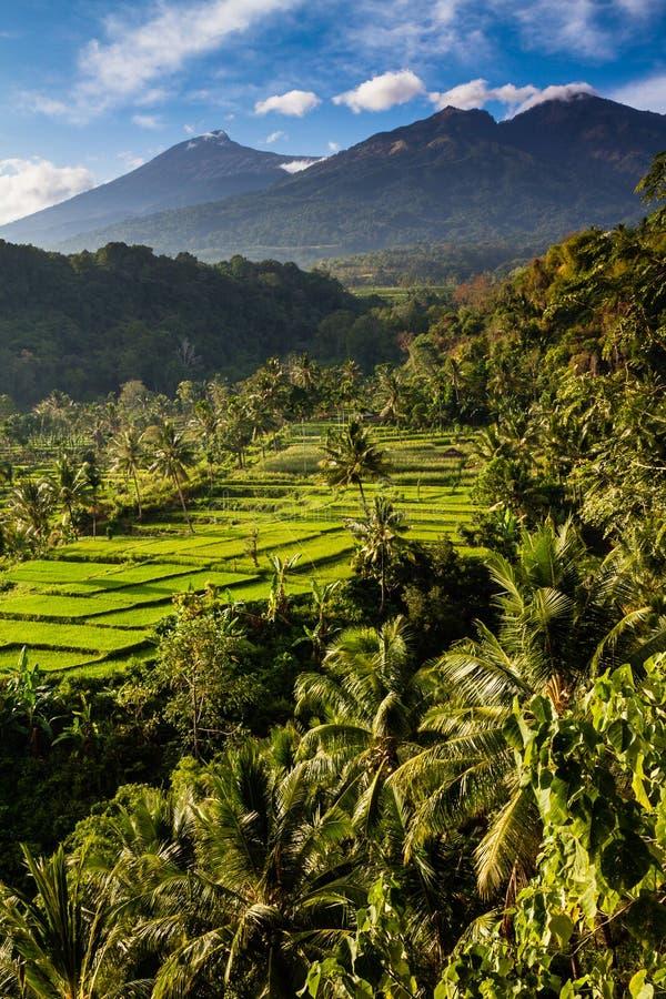 Reis-Felder und Bäume mit Mt Rinjani-Lombok, Asien lizenzfreie stockfotos